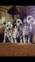 Dalmatian Puppies for sale in Visalia, CA, USA. price: NA