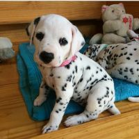 Dalmatian Puppies for sale in Colorado Springs, CO, USA. price: NA