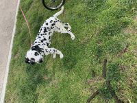 Dalmatian Puppies for sale in Los Angeles, CA, USA. price: NA
