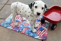 Dalmatian Puppies for sale in Louisville, KY, USA. price: NA