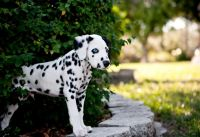 Dalmatian Puppies for sale in Gillette, WY, USA. price: NA