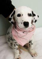 Dalmatian Puppies for sale in Philadelphia, PA 19116, USA. price: NA