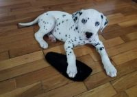Dalmatian Puppies for sale in Pondfield Rd, Bronxville, NY 10708, USA. price: NA