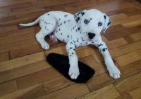 Dalmatian Puppies for sale in Waco, TX, USA. price: NA