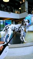 Dalmatian Puppies for sale in Roseland, NJ, USA. price: NA