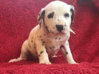 Dalmatian Puppies for sale in Yelm, WA, USA. price: NA