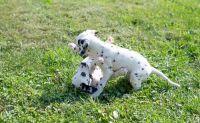 Dalmatian Puppies for sale in Sacramento, CA, USA. price: NA