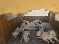 Dalmatian Puppies for sale in Pomona, CA, USA. price: NA