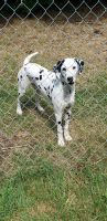 Dalmatian Puppies for sale in Stratford, CT, USA. price: NA