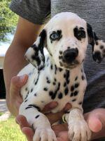 Dalmatian Puppies for sale in Rio Grande City, TX 78582, USA. price: NA