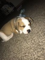 Dalmatian Puppies for sale in Norton Rd, Columbus, OH, USA. price: NA