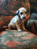 Dalmatian Puppies for sale in Corydon, IN 47112, USA. price: NA