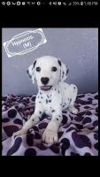 Dalmatian Puppies for sale in Weatherford, TX, USA. price: NA