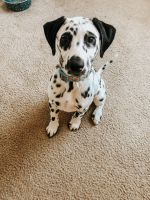 Dalmatian Puppies for sale in Denton County, TX, USA. price: NA