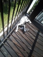 Dalmatian Puppies for sale in Raleigh, NC, USA. price: NA