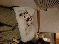 Dalmatian Puppies for sale in Post Falls, ID 83854, USA. price: NA