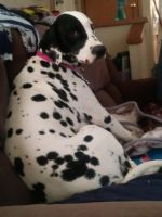 Dalmatian Puppies for sale in Greeley, CO 80631, USA. price: NA