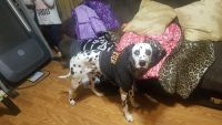 Dalmatian Puppies for sale in Mt. Juliet, TN, USA. price: NA