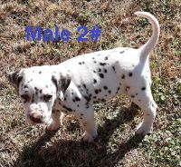 Dalmatian Puppies for sale in Elkmont, AL 35620, USA. price: NA