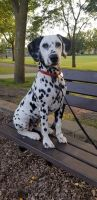 Dalmatian Puppies for sale in Owatonna, MN 55060, USA. price: NA