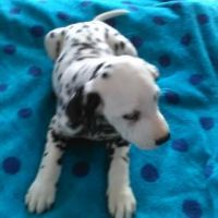Dalmatian Puppies for sale in Paducah, KY, USA. price: NA