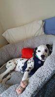 Dalmatian Puppies for sale in Richmond, VA, USA. price: NA