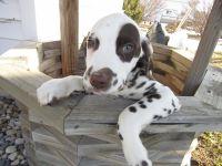 Dalmatian Puppies for sale in Kalamazoo, MI, USA. price: NA