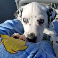 Dalmatian Puppies for sale in Sylmar, Los Angeles, CA, USA. price: NA