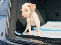 Dalmatian Puppies for sale in Compton, CA, USA. price: NA