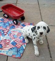 Dalmatian Puppies for sale in Albany, GA, USA. price: NA