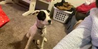 Dalmatian Puppies for sale in Colorado Springs, CO 80902, USA. price: NA