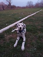 Dalmatian Puppies for sale in Whitney, TX 76692, USA. price: NA
