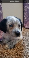 Dalmatian Puppies for sale in Franklin, IN 46131, USA. price: NA