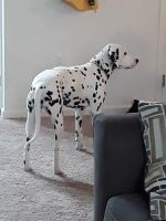 Dalmatian Puppies for sale in Willow Street, PA 17584, USA. price: NA
