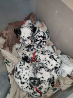 Dalmatian Puppies for sale in San Ysidro, San Diego, CA, USA. price: NA