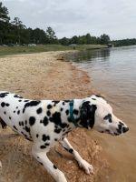 Dalmatian Puppies for sale in Leesville, LA 71446, USA. price: NA