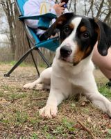 Dalmatian Puppies for sale in Lansford, PA, USA. price: NA