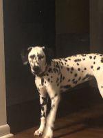 Dalmatian Puppies for sale in Starke, FL 32091, USA. price: NA