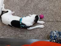 Dalmatian Puppies for sale in Oxon Hill, MD, USA. price: NA