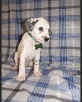 Dalmatian Puppies for sale in Del Mar, CA 92014, USA. price: NA