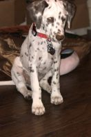 Dalmatian Puppies for sale in Baltimore, MD 21224, USA. price: NA