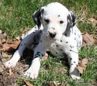 Dalmatian Puppies for sale in Milwaukee, WI, USA. price: NA