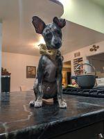 Dalmatian Puppies for sale in Napa, CA, USA. price: NA