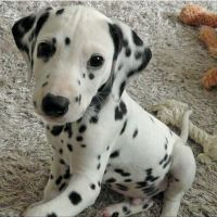 Dalmatian Puppies for sale in California City, CA, USA. price: NA