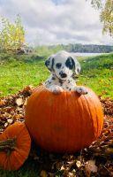 Dalmatian Puppies for sale in Rhinelander, WI 54501, USA. price: NA