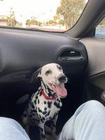 Dalmatian Puppies Photos