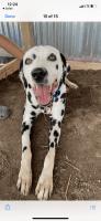 Dalmatian Puppies for sale in Lake Charles, LA, USA. price: NA