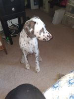 Dalmatian Puppies for sale in Baltimore, MD, USA. price: NA