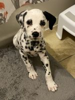 Dalmatian Puppies for sale in Saugus, MA, USA. price: NA