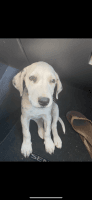 Dalmatian Puppies for sale in San Marcos, CA, USA. price: NA